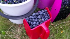 Berry picker and a busket filled with bush blueberries, huckleberries or Vacc Stock Footage