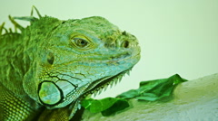 Green iguana on grey white background. Close-Up View Of Iguana - stock footage