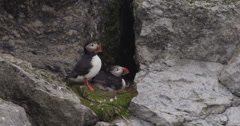 Two Puffins on Nest in Crevice on Cliff - stock footage