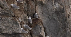 Gulls on Nests on Nest Cliff and Flying Stock Footage