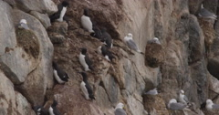 Bird Cliff Close with Gulls and Guillemots Stock Footage