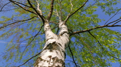 A large greening birch on the background of the sky. The camera glides back. Stock Footage