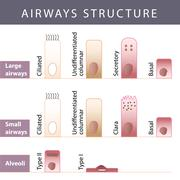 Stock Illustration of Airways structure