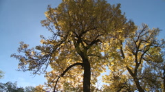 Golden Leaves at Autumn Dawn - stock footage