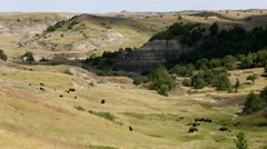 Theodore Roosevelt National Park Bison Stock Footage