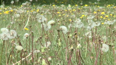 Spring Dandelions Moving in Gentle Breezes Close Up Stock Footage