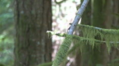Moss Droops from Limbs in Pacific Northwest Rain Forest Stock Footage