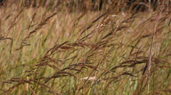 Indian Grass (Sorghastrum nutans) Blowing in the Wind Stock Footage