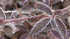 Close up of Frost on Leaves on an Autumn Morning - stock footage