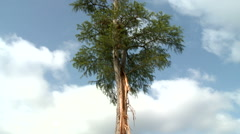 Lightning Damage to an Isolated, Tall Tree Stock Footage