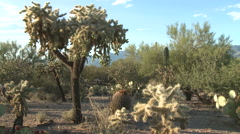Sonoran Desert Vegetation in Late Afternoon Breeze Stock Footage