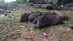 Black piglets rest Stock Footage