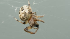 Spider is devouring a fly - stock footage