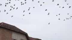 4K Big raven flock fly sky many pigeons rest block roof town wild bird crow day Stock Footage