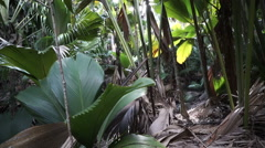 Jungle Plants in the Vallee de Mai Nature Reserve, Seychelles island of Praslin Stock Footage