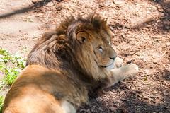 Beautiful Mighty Lion Stock Photos