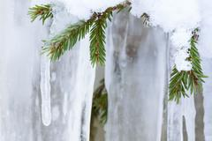 Icicle hanging from spruce branch Stock Photos