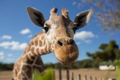 Giraffe in front of Kilimanjaro mountain - stock photo