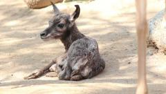 Newborn Pronghorn Calif Resting Stock Footage