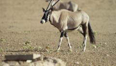 Gemsbok - walking. Africa animal nature 4K uhd ultrahd antelope mammal Stock Footage