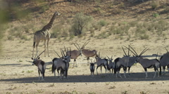 Gemsbok - herd in shade, giraffe behind. Africa animal mammal 4K uhd group Stock Footage