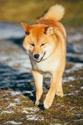 Beautiful Young Red Shiba Inu Dog Running Outdoor In Autumn Stock Photos
