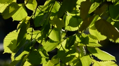 Elm leaves in the wind on  sunny day Stock Footage