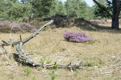 heath and forest in Holland - stock photo