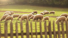 Herd of sheep pasture on the juicy grass in the evening Stock Footage