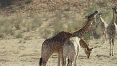 Giraffe - pair mock fighting. Africa animal fight 4K uhd ultrahd nature safari - stock footage