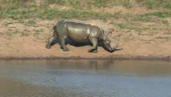 White rhino walking by water Stock Footage