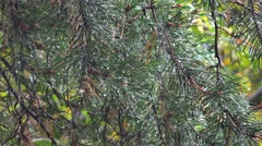 Raindrops on a pine needles. Stock Footage