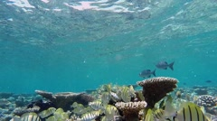 Shoaling manini at coral reef Stock Footage