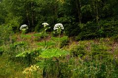 Invasive hogweed - stock photo