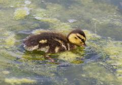 The cute young duck is eating the algae - stock photo