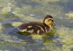 Cute chick of the mallards is eating the algae - stock photo