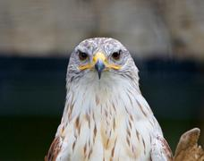 Ferruginous Hawk - stock photo