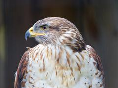The close-up of a Ferruginous Hawk - stock photo