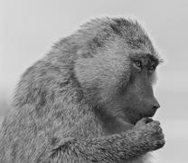 Stock Photo of The funny baboon is trying to decide