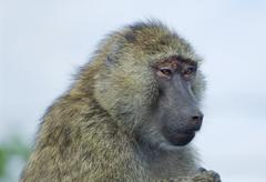 The skeptic baboon's portrait - stock photo