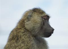 The funny baboon is looking on something - stock photo