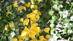 Birch leaves swaying on  wind in early autumn Stock Footage
