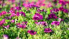 A flower bed with pink petunias Stock Footage