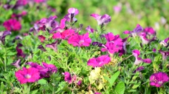 A flower bed with pink petunias - stock footage