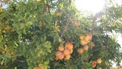 Pomegranate fruit On A Tree Stock Footage