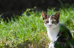 Dun Cat Watching in Grass Stock Photos