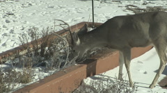 Hungry Deer use Surburban Winter Garden as Salad Bar Stock Footage