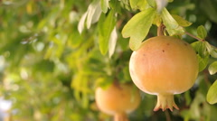 Pomegranate fruit on the tree Stock Footage
