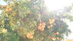Pomegranates tree in orchard Stock Footage