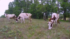 Stock Video Footage of Cloudy autumn day. Cows on a meadow with sparse grass hard eat grass.
